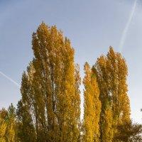 Осенние тополя :: Алексей Шаповалов Стерх