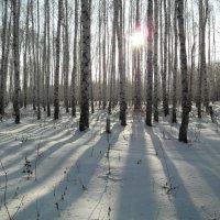 Солнце в березах.. :: Владимир Сквирский