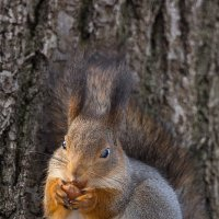 Белочка с орешком :: Alex Bush