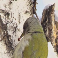 Седой дятел - птица муравьед. :: aWa
