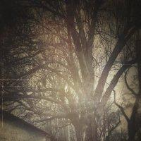 Старое дерево :: Eugene Kurenko