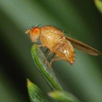 Желтый мух, красный глаз :: sergej-smv