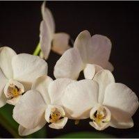 Орхидея :: Борис Борисенко