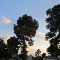 Сосны  на закате :: Герович Лилия