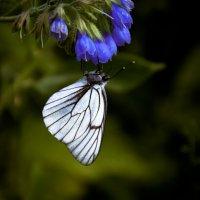 Бабочка :: Ольга Осовская