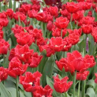 тюльпаны к 8 марта :: Igor Osh