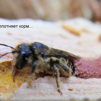 О пчёлах :: Анатолий Мартынюк
