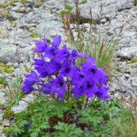 Цветы Эльбруса :: Vladimir 070549