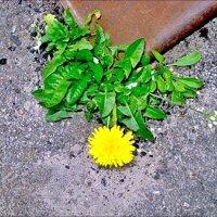 Сквозь асфальт, из-под чугунной плиты вырывается весна! :: Нина Корешкова