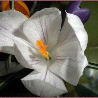 Белый крокус :: Вера