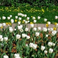 Белые тюльпаны :: Елена Семигина