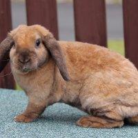 кролик из моего домашнего зоопарка :: Natalya секрет