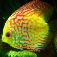 Экзотическая рыбка :: оля san-alondra