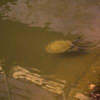 Черепаха :: Тарас Семигаленко