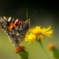 Бабочка :: Александр Григорьев