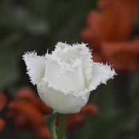 Цветы к празднику :: Александр Аксёнов