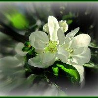Весенняя яблонька :: Сергей Карачин