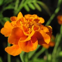 Оранжевое настроение :: nika555nika Ирина