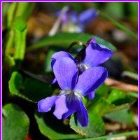 Первые цветы :: Надежда