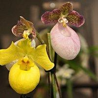Пафиопедилум  — вид многолетних травянистых растений семейства Орхидные. :: Елена Павлова (Смолова)