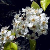 Цветущее дерево. :: Валерьян