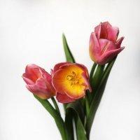 Первые тюльпаны... Весна, однако! :: Алёна Михеева