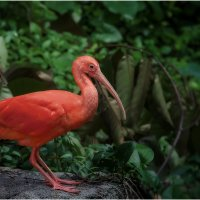 Алый Ибис...Куала-Лумпурский парк птиц... :: Александр Вивчарик
