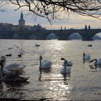 Лебеди и Карлов мост. :: Anna Gornostayeva