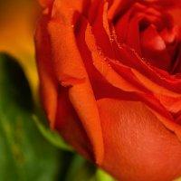 Розы к празднику :: Petrovich
