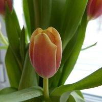 тюльпан на окне :: Инга Егорцева