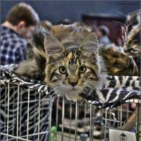 Мейн Кун-из серии Кошки очарование мое! :: Shmual Hava Retro
