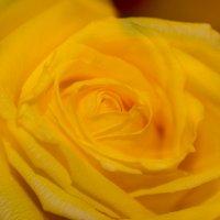 роза :: Елена Шмойлова