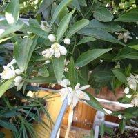 Мандарин в цвету. :: Galina194701