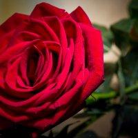 Красная роза. :: Татьяна Калинкина