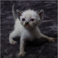 Наши малявки2-из серии Кошки очарование мое! :: Shmual Hava Retro