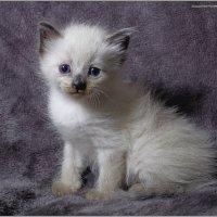 Наши малявки-из серии Кошки очарование мое! :: Shmual Hava Retro