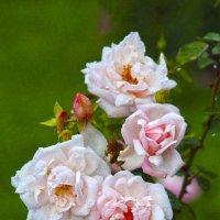 Розовая семья :: Nikolay Monahov