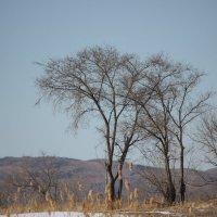 Дерево в Забайкальской степи :: Марина Мишутина