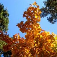 Золотой клен в окружении вечно зеленых  сосен :: Елена Семигина