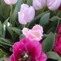 Тюльпановое царство :: Galina194701