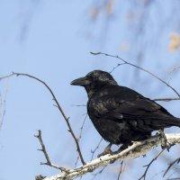 Черный ворон :: Анатолий Иргл