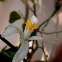 Цветок мандарина :: bemam *