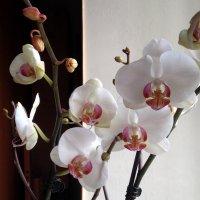 В Древней Греции орхидеи считались священными цветами. :: Anna Gornostayeva