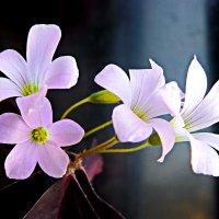 Домашний цветок :: Петр Заровнев