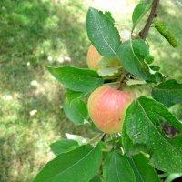 Август,яблоки в саду... :: Тамара (st.tamara)
