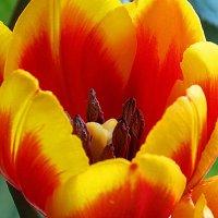В сердце тюльпана :: *ALISA* ( minck55 )