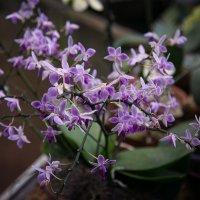 эти загадочные орхидеи :: Эльмира Суворова