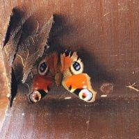 Первые бабочки :: Людмила Минтюкова