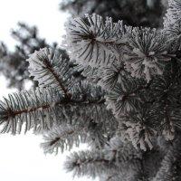 Зимняя сосна :: Валентина Кузнецова