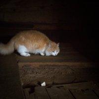 Рыжий кот :: Елена